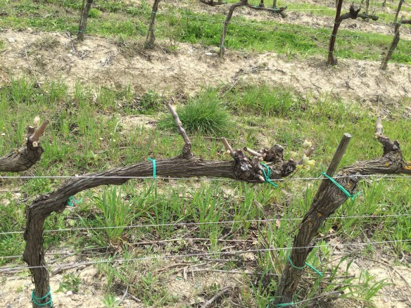 The vines are not too far along in early April