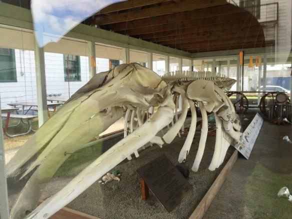 Gray whale skeleton