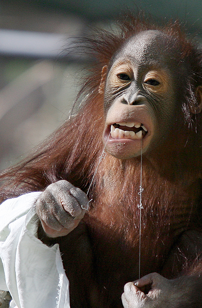 An orangutan uses a piece of string to floss her teeth at the Phoenix Zoo.