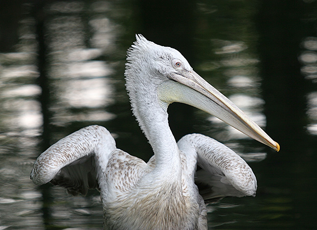 A pelican flaps its wings on a pond at Zoo Berlin in Germany.