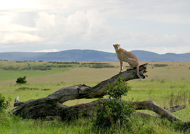 A cheetah perches on a fallen tree in the Maaaai Mara national reserve in Kenya.