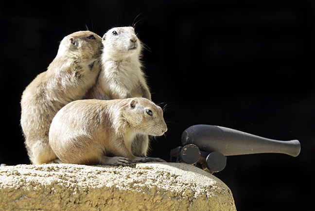 Prairie dogs pose behind a cannon in their exhibit at York's Wild Animal Kingdom in York, Maine.