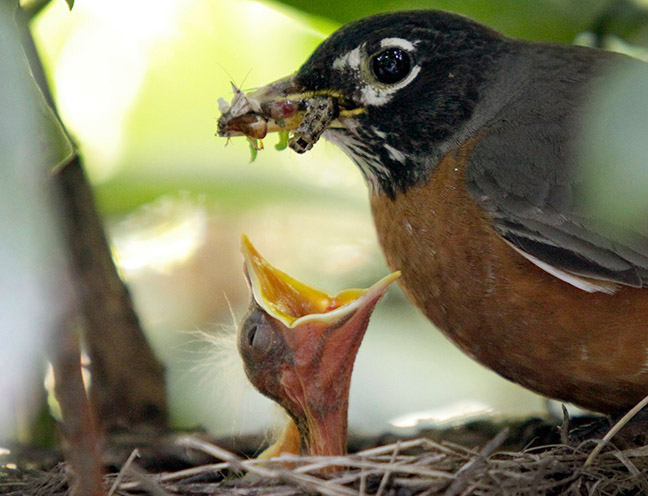 An American Robin perches on the side of the nest with a beak full of bugs as a chick opens its mouth for easy delivery in North Andover.