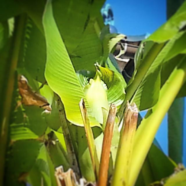 むむむ、この時期に来て、庭のバナナに不穏な膨らみ発見。
