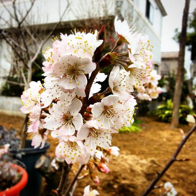 佐藤錦が咲いていたよ。数年前に病気にかかり、伐ってしまったら少し離れた所に芽吹いていたんだ。だから本当は佐藤錦じゃないかもしれないけど、そうだと思って見てると楽しいんだよね。