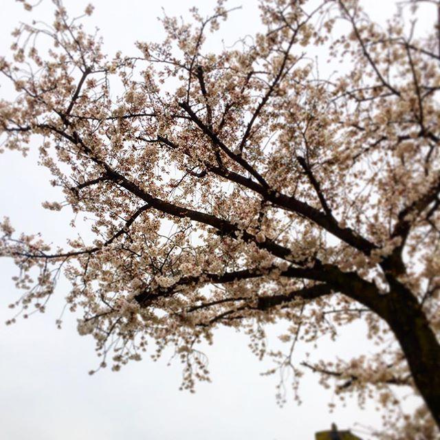 勝瀬小学校の正門の桜は8分咲き位になってます。