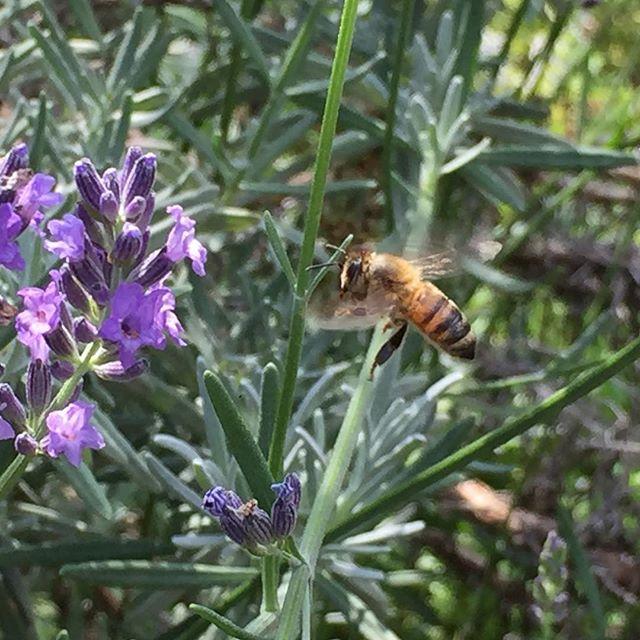 ようやく蜂を見かける様になりました。