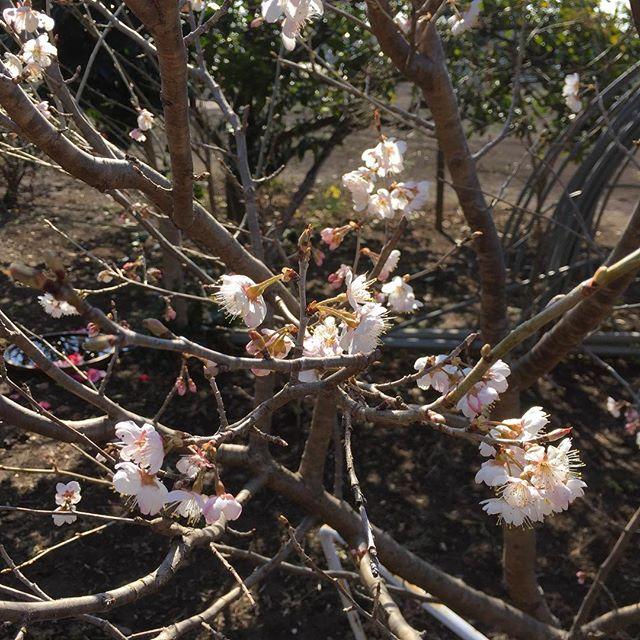 春です。  サクランボの花が咲き始めました。