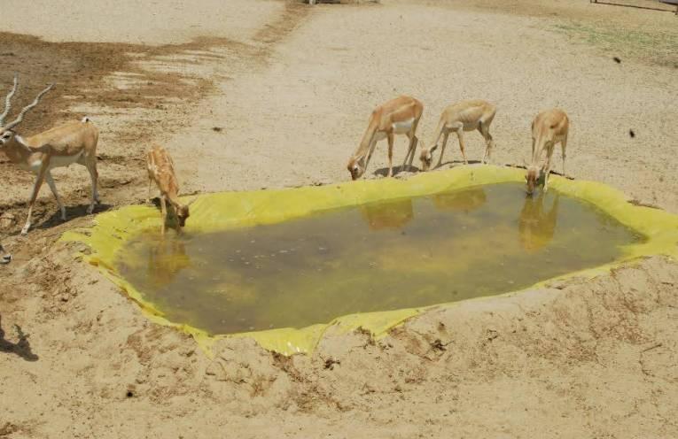 deer saved by rajasthan people