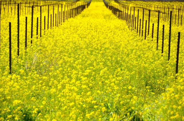 mustard fieldsN