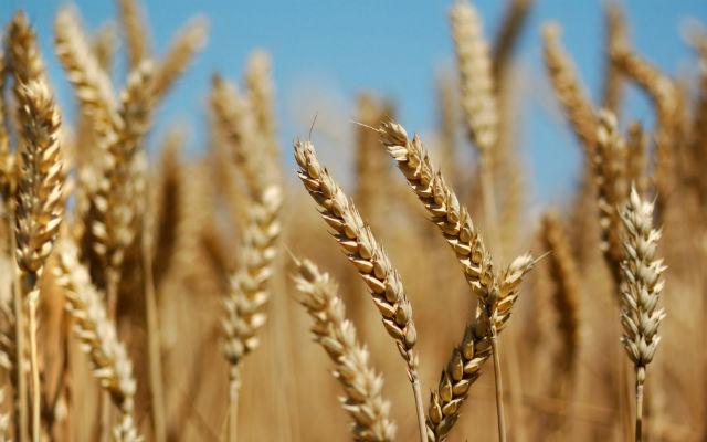wheat_fields-