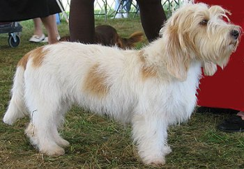 Perro raza Basset Griffon Vendeen