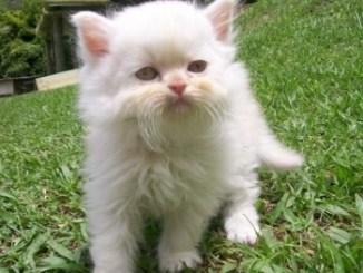 Gato Persa Blanco Ojos Naranja