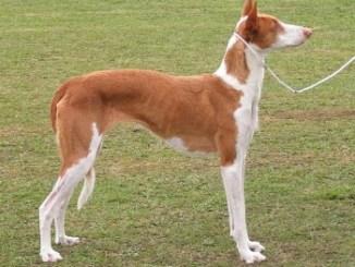 Perro Podenco Ibicenco