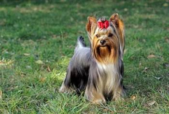 Foto Yorkshire Terrier