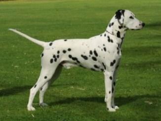 Raza de perro Dalmata