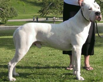 Información Sobre el Perro Dogo Argentino