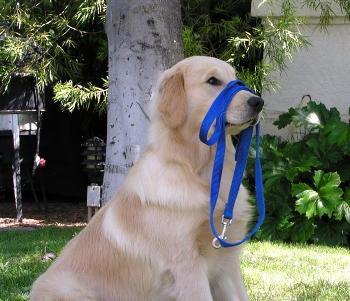 Como adiestrar un perro para paseo