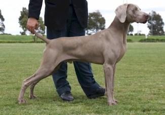 Raza Weimaraner Perro de Caza