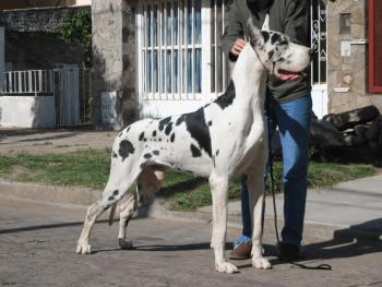 Foto de raza de perro gran danes arlequin