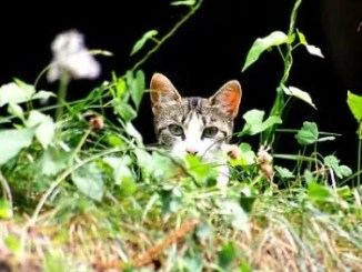 Características y Comportamiento del Gato Silvestre