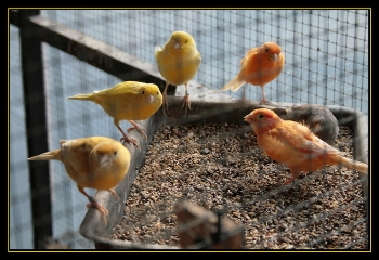 Cómo alimentar a un canario sanamente