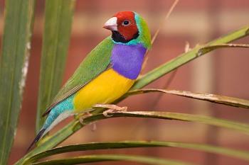 Color de las plumas en las Aves