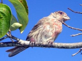 Parásitos Internos de las Aves