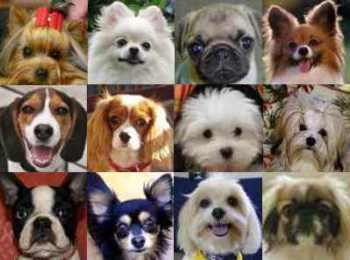 Razas de Perros Miniaturas con fotos