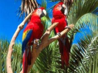 Cómo criar Papagayos o Loros de Cola Corta