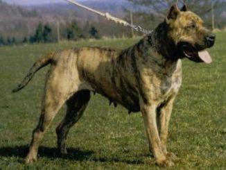 Información Sobre la Raza Dogo Canario