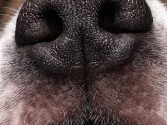 Como es el Olfato en los Perros