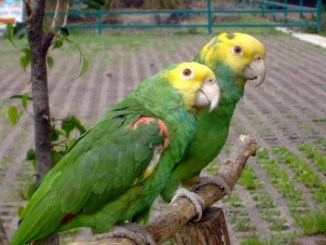 Papagayo Amazona de Cabeza Amarilla