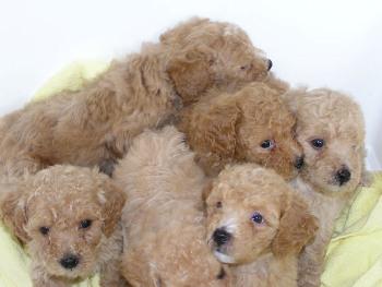 Donde Comprar un cachorro Caniche Toy