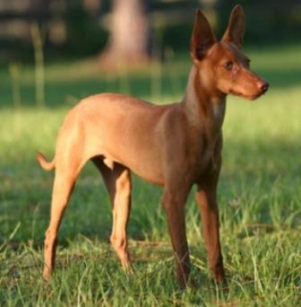 foto de perros de caza - Podenco Andaluz