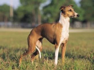 El Italian Greyhound perro de carácter alegre