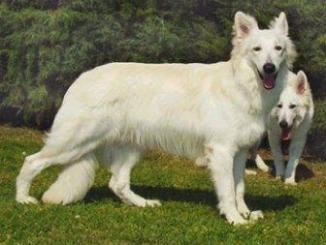 Raza de perro Pastor Blanco Suizo