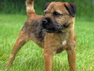 Border Terrier de Gran Bretaña