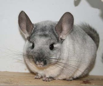 foto de chinchilla