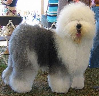 El Viejo Pastor Inglés es un perro ostentoso y fuerte, su tipo de pelo se habitúa a las exigencias del tiempo, tienen un subpelo o lana que los protege del frío