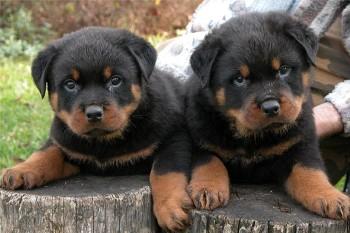 foto de Donde comprar un Rottweiler