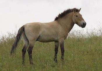 Caballo de raza Przewalski