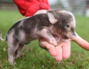 Mini Cerdos - La Nueva Mascota de Moda en México