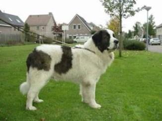 El perro Mastin del Pirineo es inteligente y adiestrable