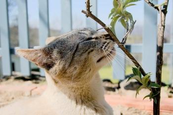 Los sentidos del gato Visión Oído Olfato
