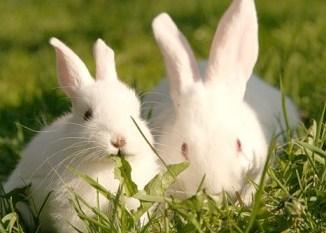 Como es un Conejo - Características Generales