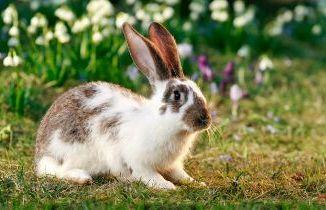 Qué es un conejo