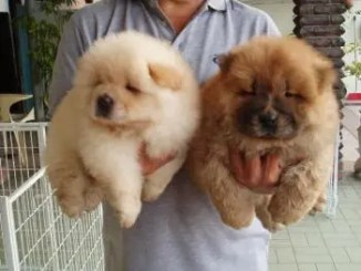 Criaderos de Cachorros de la Raza Chow Chow