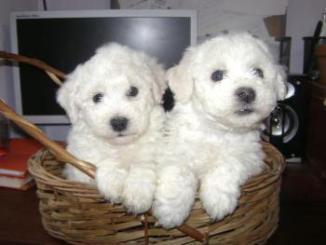 Criaderos de Cachorros de la Raza Bichon Frise