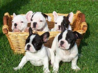 Criaderos de Cachorros de la Raza Bulldog Francés